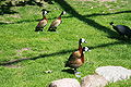 Vogelpark Walsrode - Freiflughalle - Dendrocygna viduata 02 ies.jpg