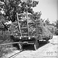 """Voz s škalirjem, naložen s pšenico. Zadaj se vidi kako privežejo ždr z vrvjo na """"kaluvret"""", Dobrovo 1953 (2).jpg"""