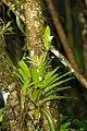 Vriesea unilateralis.jpg