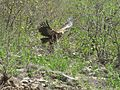 Vulture, Captured near Namadeshwar Ramechhap.jpg