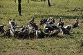 Vultures feasting in the Serengeti (1) (28013268084).jpg