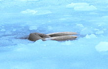 Photo of walrus in ice-covered sea.