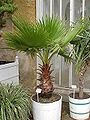 Washingtonia robusta2.jpg