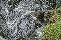 Wasseramsel im NSG 'Rurtal von der Staumauer Heimbach bis Stadtgrenze noerdlich Blens' 01.jpg