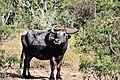 Water Buffalo in Sri Lanka.jpg
