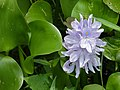 Water Hyacinth (Eichhornia crassipes) (8067333769).jpg