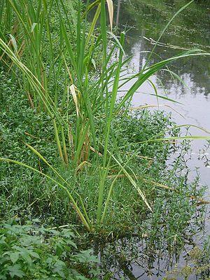 Mandschurischer Wasserreis (Zizania latifolia)