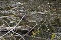Waterthrush (34304316035).jpg
