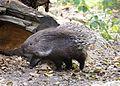 Weissschwanzstachelschwein Hystrix indica Tierpark Hellabrunn-6.jpg
