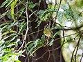 Western Crowned Warbler (29775870034).jpg