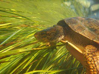 Bear Creek (Colusa County) - Western Pond Turtle in Bear Creek