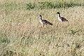 Western Serengeti 2012 06 03 3684 (7557822556).jpg