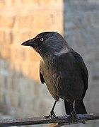 Western jackdaw, adult, in Jerusalem. (1).jpg