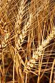 Wheat Stalks (Umatilla County, Oregon scenic images) (umaDA0020).jpg