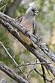 White-backed Mousebird (Colius colius) (32607936352).jpg
