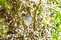 White-crowned sparrow (26313741315).jpg