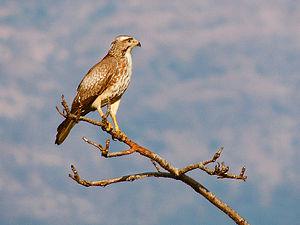 White-eyed buzzard (Butastur teesa) Photograph By Shantanu Kuveskar.jpg