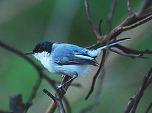 White-lored Gnatcatcher.jpg