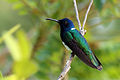 White-necked jacobin (Florisuga mellivora flabellifera) male To.jpg