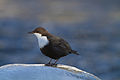 White-throated Dipper (Cinclus cinclus) (13667847535).jpg