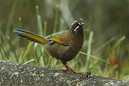 White-whiskered Laughingthrush - Taiwan S4E6781 (18866886884).jpg