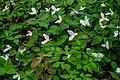 White Trillium Flower Blooms PLT-FL-TR-6.jpg