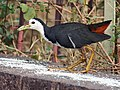 White breasted Waterhen I4-Bhopal IMG 0515.jpg
