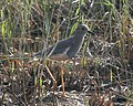 White tailed lapwing 5.jpg