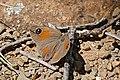 Wichgraf's Brown (Stygionympha wichgrafi) (32364732230).jpg