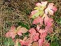 Wild Cranberry (329910e4e7cc46d286d11f6ca67e1b40).JPG