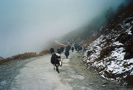 Herd of domestic yaks wandering in the Himalayas. - Yak