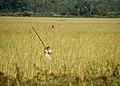 Wild rice harvest on Mud Lake, Cass County, Minnesota, September 2015.jpg