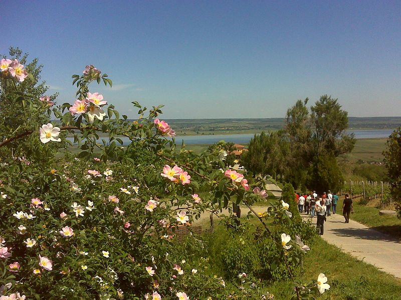 File:Wild roses on the winepath.JPG