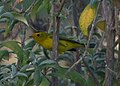 Wilson's Warbler (10130011673).jpg