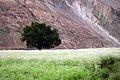 Wind was blowing in the fields around Turtuk - Nubra Valley (10020103926).jpg