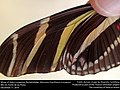 Wings of Zebra Longwing (Nymphalidae, Heliconius charithonia (Linnaeus)) (31578796190).jpg