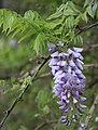 Wisteria frutescens flower cluster.jpg