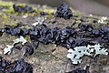 Witches' butter - Exidia nigricans - panoramio (4).jpg
