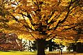 Witness Tree to the Gettysburg Address.jpg