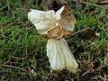 Witte kluifzwam (Helvella Crispa). Locatie, Hortus (Haren, Groningen) 03.JPG