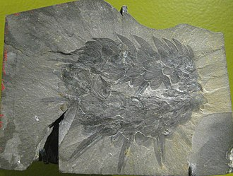 Sclerite - The fossilized scleritome of Wiwaxia corrugata