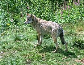 WolfInNumedal.jpg