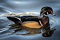 Wood Duck (m) (21885288762).jpg