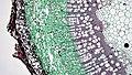 Woody Dicot Stem Lenticle Formation in Sambucus Stem (35534370130).jpg