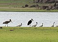 Woolly-necked Stork (Ciconia episcopus) with Black-headed Ibises & Painted Stork W IMG 9730.jpg
