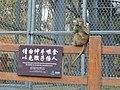 Wuhan - Chuidi - Houshan - monkeys - P1520750.JPG
