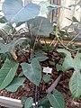 Xanthosoma violaceum - Copenhagen Botanical Garden - DSC07356.JPG