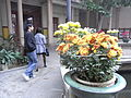 Xinhui 新會城 Jingtang Library 景堂圖書館 05 菊花 flowers.JPG