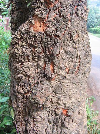Xylia xylocarpa - Image: Xylia xylocarpa bark