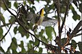 YELLOW THROATED WARBLER (8104113929).jpg